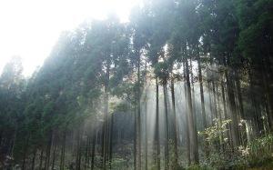 岐阜県で撮影した針葉樹