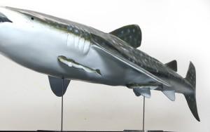 Walhai コバンザメを付ける